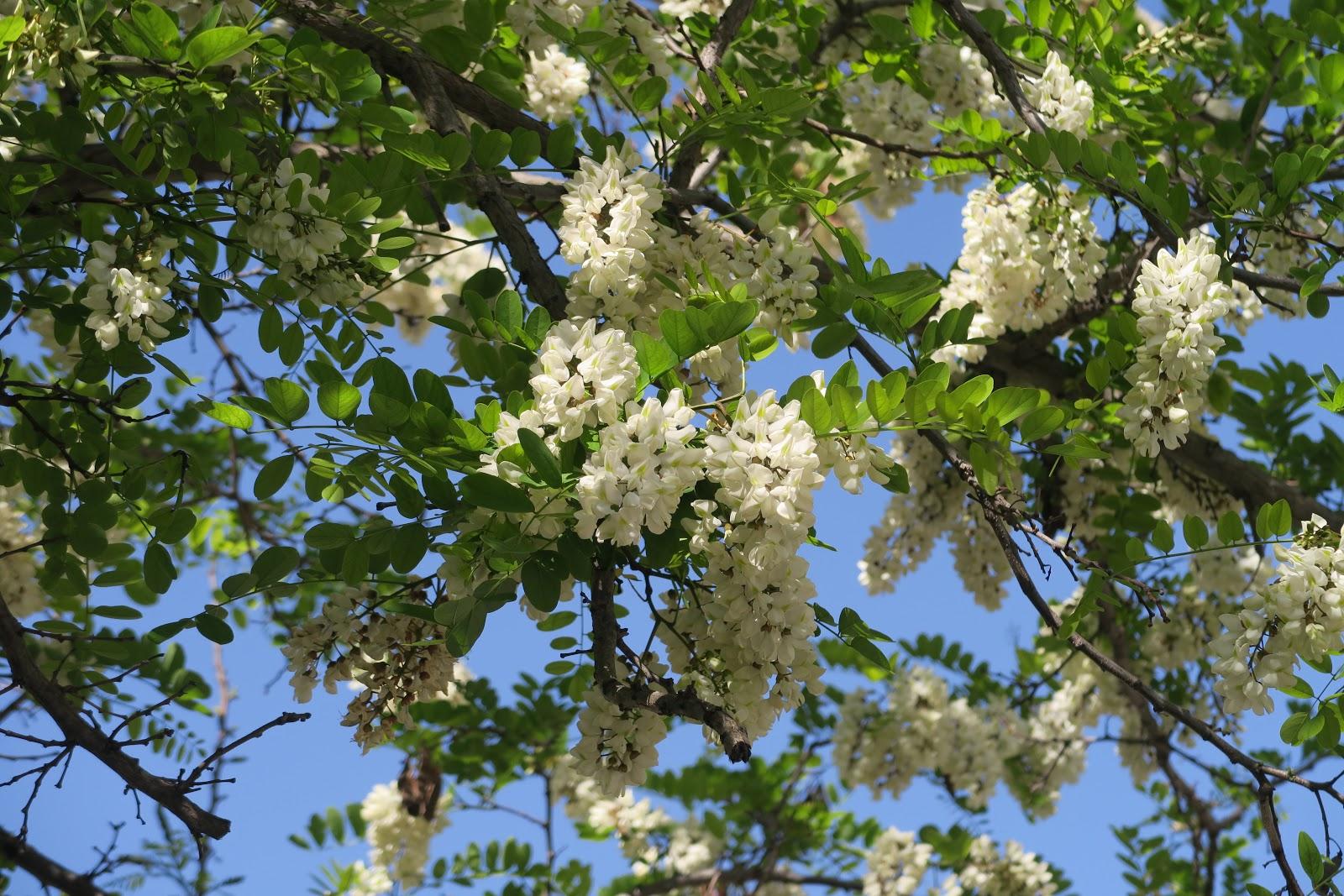 Cagliari in verde i grappoli bianchi della robinia for Pianta ornamentale con fiori a grappolo profumatissimi