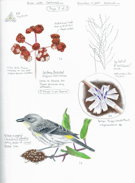 Nature Journal page: Buckwheat and Yellow-rumped Warbler eating Laurel Sumac seeds