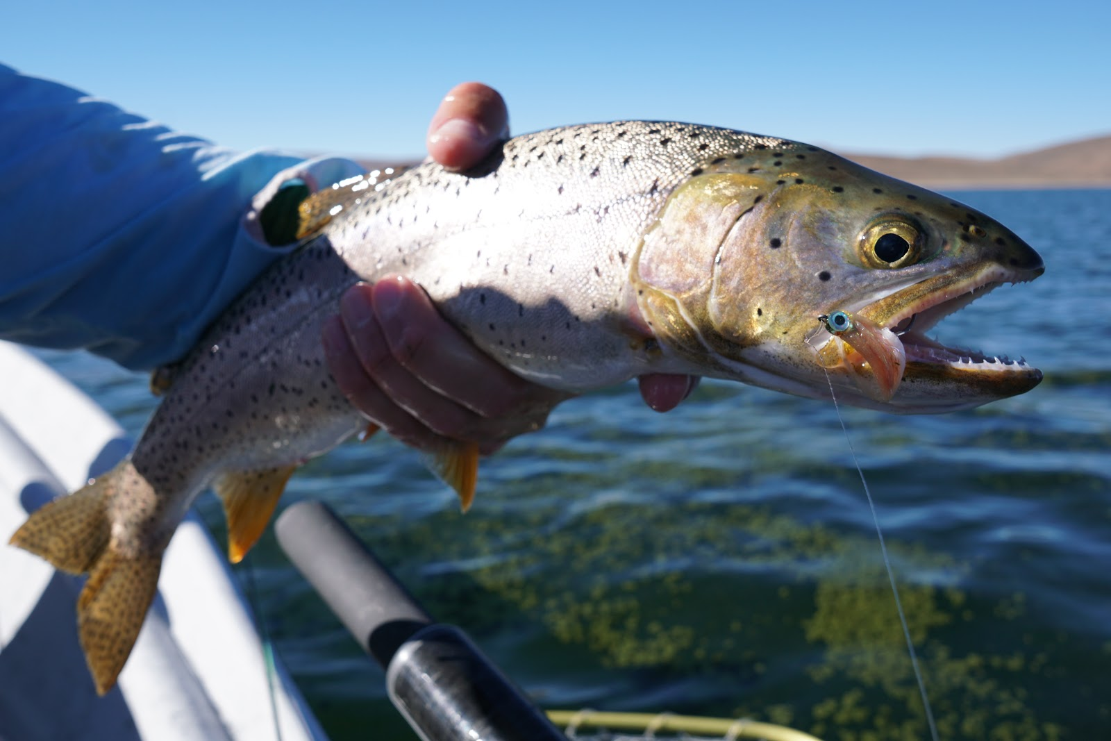 Minnow battle low fat vs high carb fly fish food fly for Battle fish 2