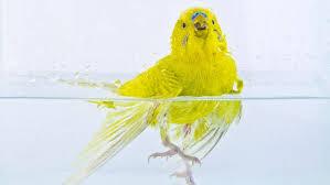 Golpe de calor en aves, que hacer y como detectarlos Golpe de calor en agapornis