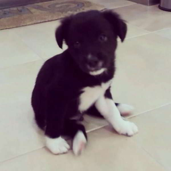 cachorro cruce border collie