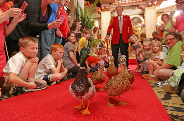 The Peabody Ducks em Orlando