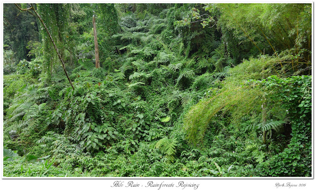 Hilo Rain: Rainforests Rejoicing