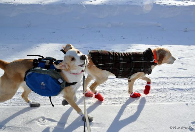special needs dog adoption, adopting a blind dog