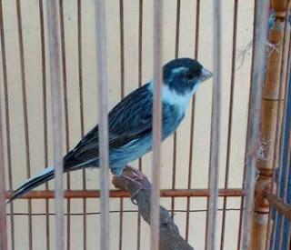 Suara Kicau Burung Kenari untuk Melatih - Mastering