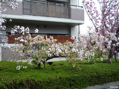 白い変な桜