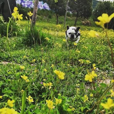 bulldog francés, corriendo, perro, campo