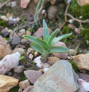 Nicipe rosulata Ornithogalum rosulatum