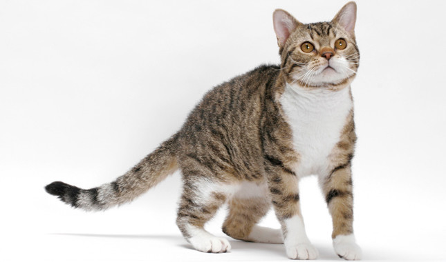 The Most Attractive Cat Breeds