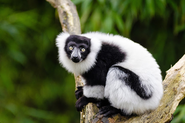 Loss of lemurs might endanger many of Madagascar's largest tree species