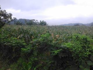 Sejumlah Petani Jagung Boltim Keluh Soal Serangan Hama