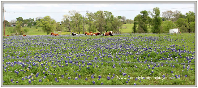 Texas Bluebonnets-Longhorn-Cows in Pasture-Wildflowers-From My Front Porch To Yours