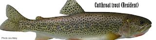 Cutthroat Trout - Jenis Jenis Ikan Salmon