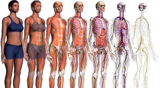 2 cursos online de Anatomia
