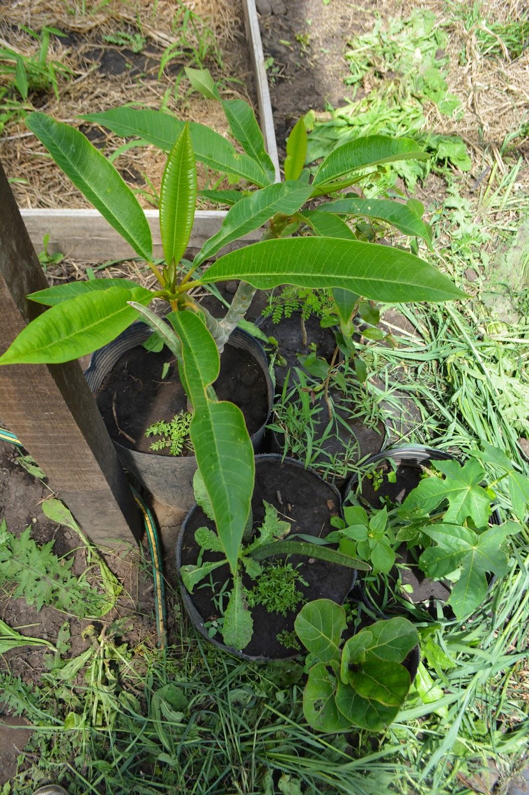 Pitanga, Mamón, aún pequeños en maceta