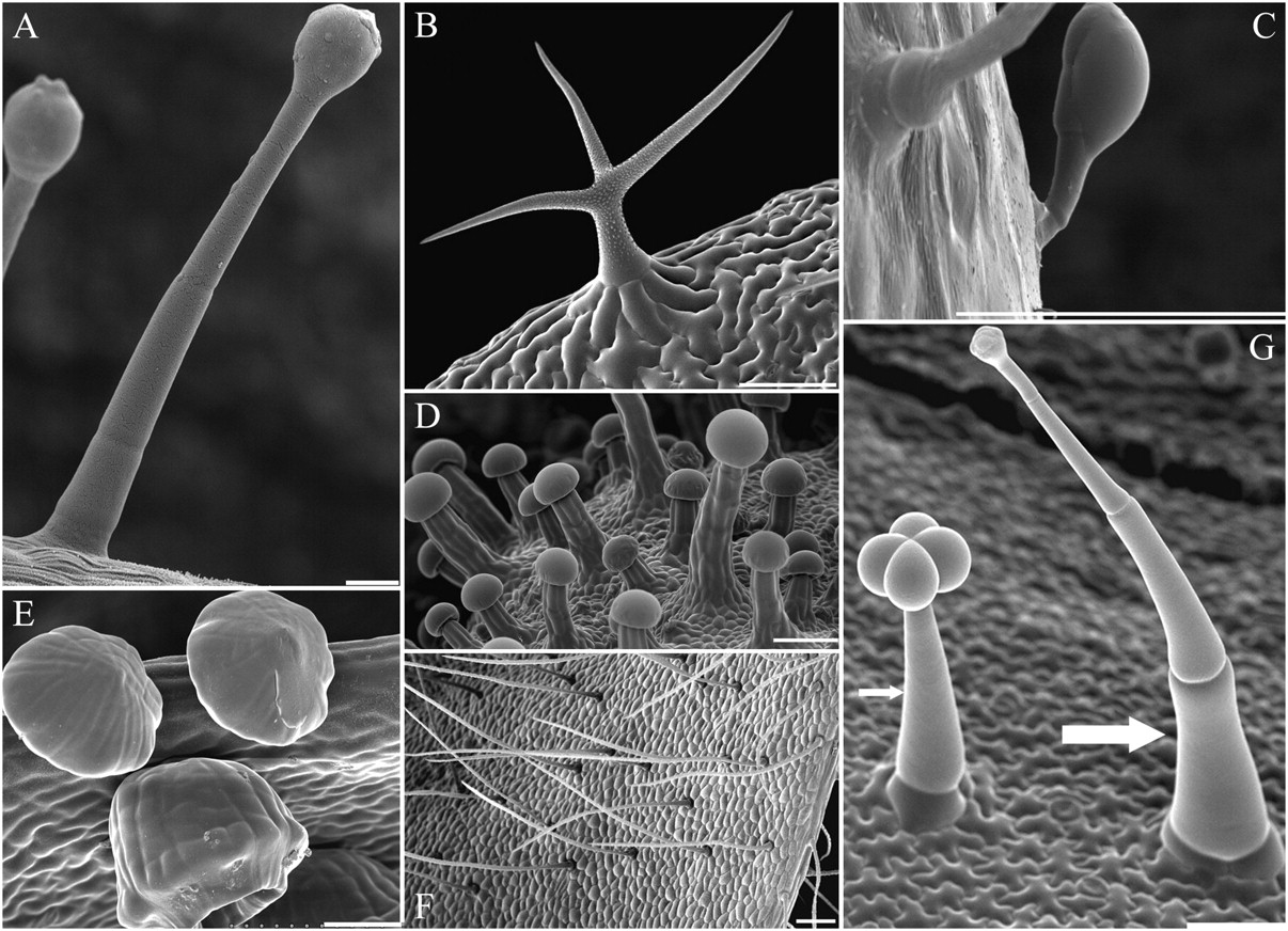 Epidermis Tumbuhan Dan Derivatnya Info Pendidikan Biologi Daun Karet Kebo Tanaman Berkhasiat Macam Trikoma