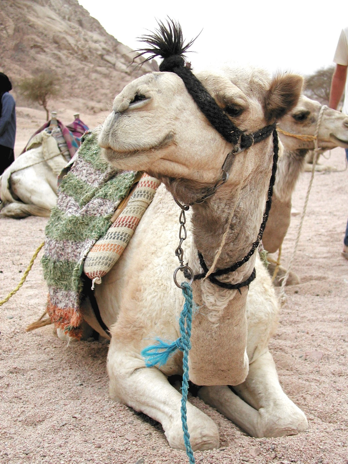 Picture of camel up close.