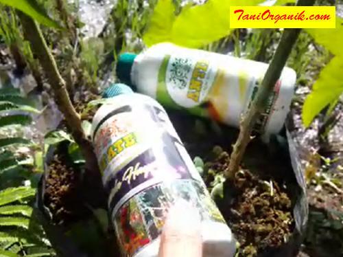 NOPATEK bisa juga digabungkan guna mengantisipasi serangan virus kuning. Kombinasi 3 formula ini cukup hebat efeknya pada pertumbuhan tanaman cabe Anda!