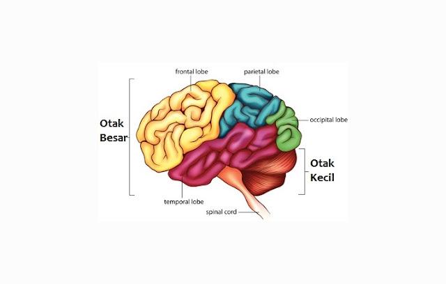Pengertian, Struktur dan Fungsi Cerebrum)