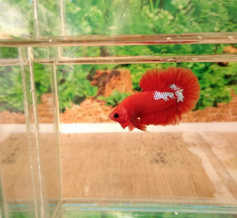 Life, Death and Waterweeds Betta Fish