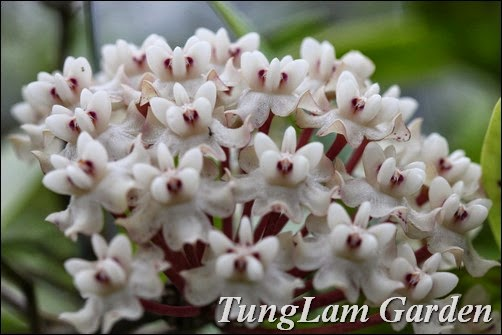 cách trồng hoa cẩm cù, cẩm cù, hoa ban công, hoa cẩm cù, hoa cẩm cù bán ở đâu, hoa cẩm cù mới, hoa leo giàn, hoa treo, hoa treo ban công, lan cẩm cù, nhân giống hoa cẩm cù,