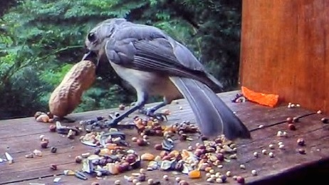 Tufted Titmouse Grabs A Peanut