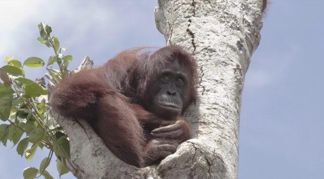 help save Bornean orangutans