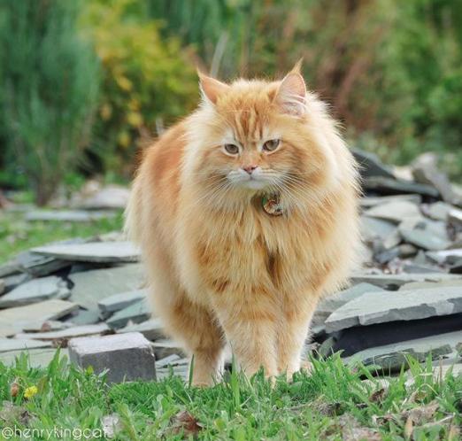Henry King Si Kucing Siberian Yang Menggoda