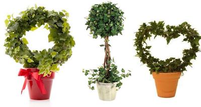 نبات الهيدرا English Ivy