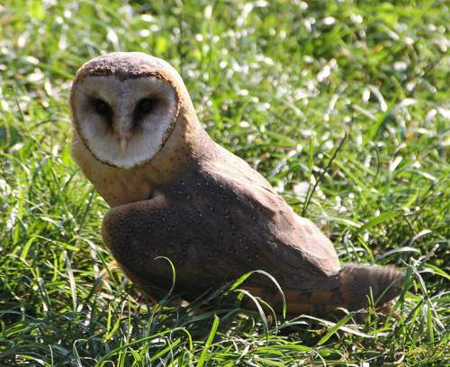 Indian birds - Common barn owl - Tyto alba