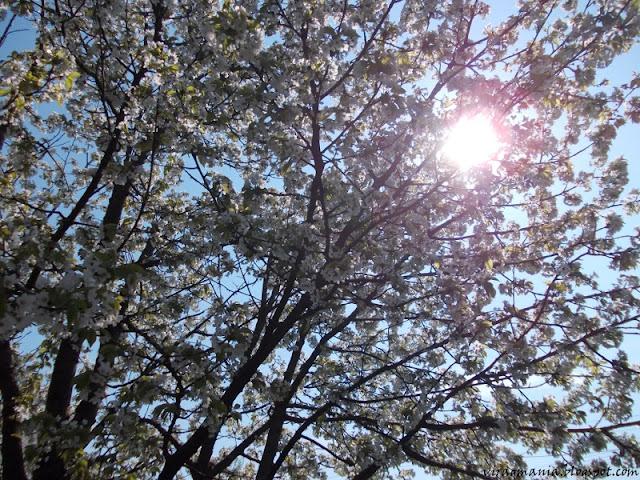 cseresznyevirág