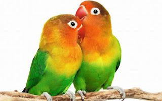 Agar Birahi Lovebird Stabil di Lapangan/Gantangan dan di rumahan