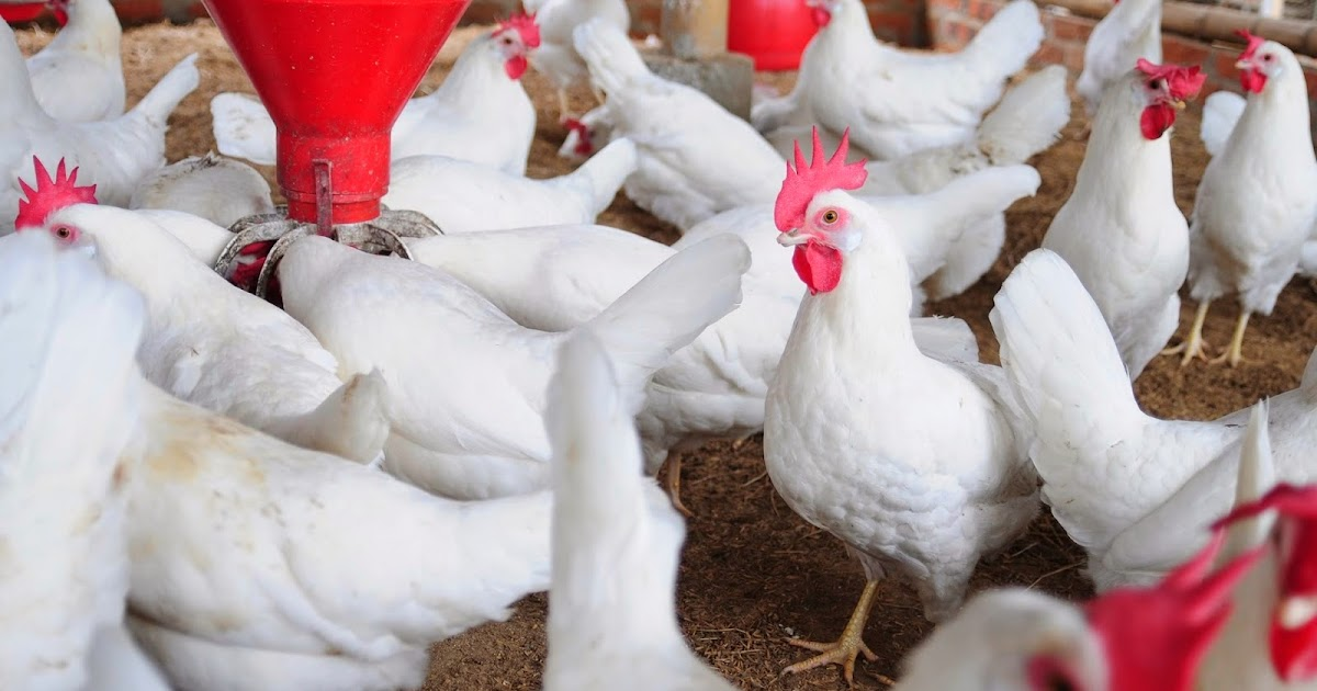 ibrahimIDD: How to Start Poultry Farming in Ghana Small and Grow