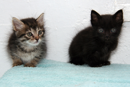 tabby kitten and black kitten