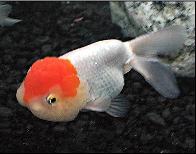 Jenis Ikan Koki Rancu