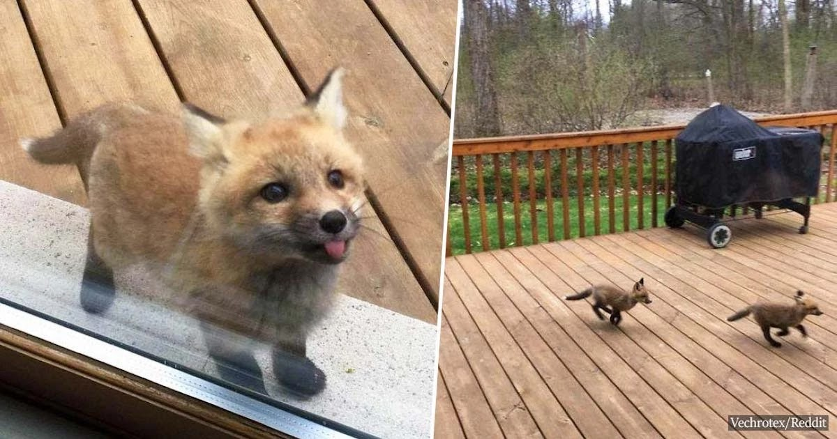 These Tiny Fox Cubs Are Visiting An Illinois Grandma Every Day – Their Little Faces Will Melt Your Heart