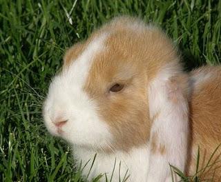 Apa yang harus dilakukan ketika kelinci sembelit