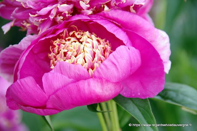 Fleurs de pivoine herbacée, rose.