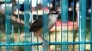 Burung Ciblek - Perawatan Harian dan Perawatan Ciblek Gunun Saat Ngedrop - Penangkaran Burung Ciblek