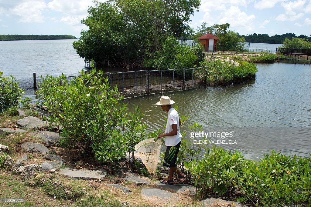 A worker of the accommodation centre of Blachon for manatees in Grand Cul-de-Sac Marin in Guadeloupe.