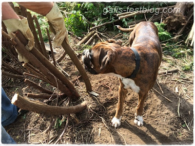 Boxer Amy bei der Gartennarbeit