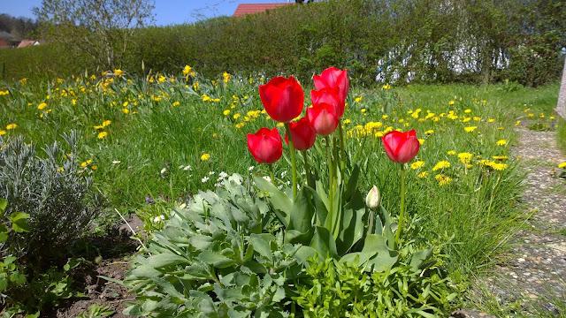 rote Tulpen vor gelbem Löwenzahn (c) by Joachim Wenk