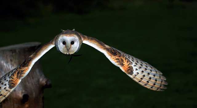 burung hantu terbang malam hari