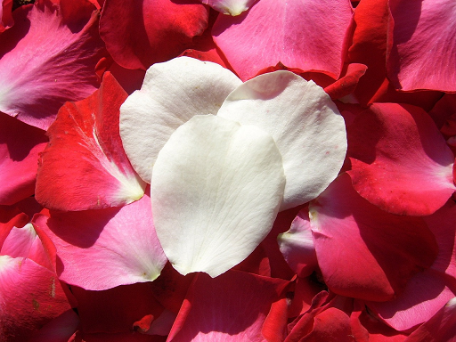 rose petals - symbolic of St Therese of Lisieux - the Little Flower