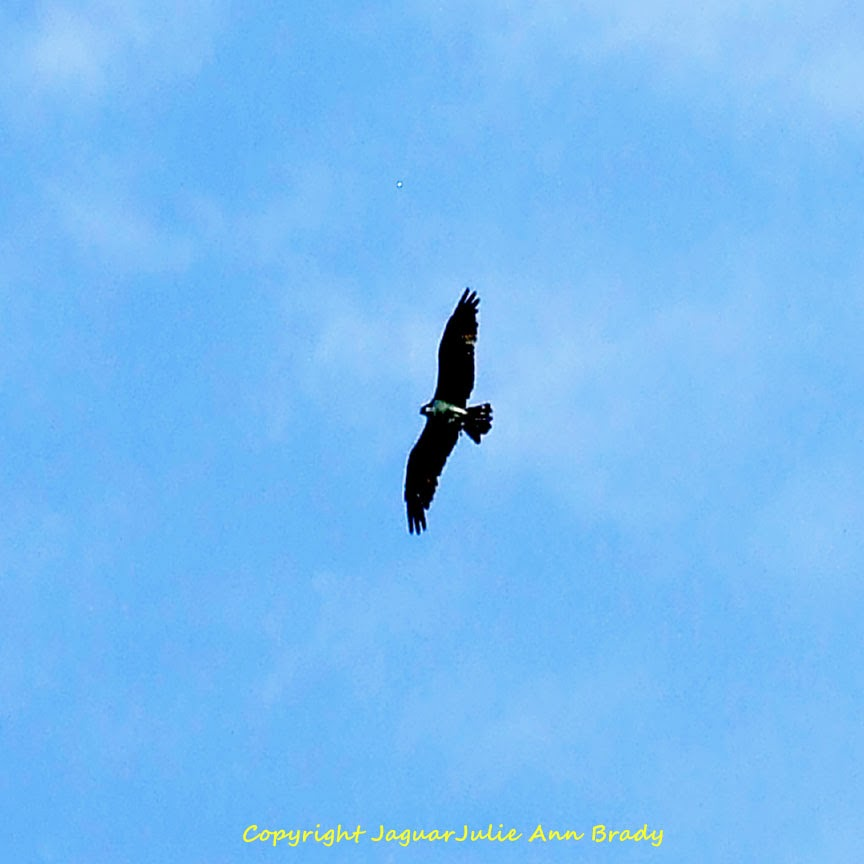 red-shouldered hawk in the blue sky