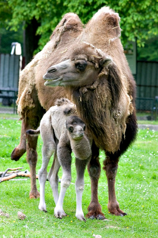 Baby Animals: Camel - Calf 7