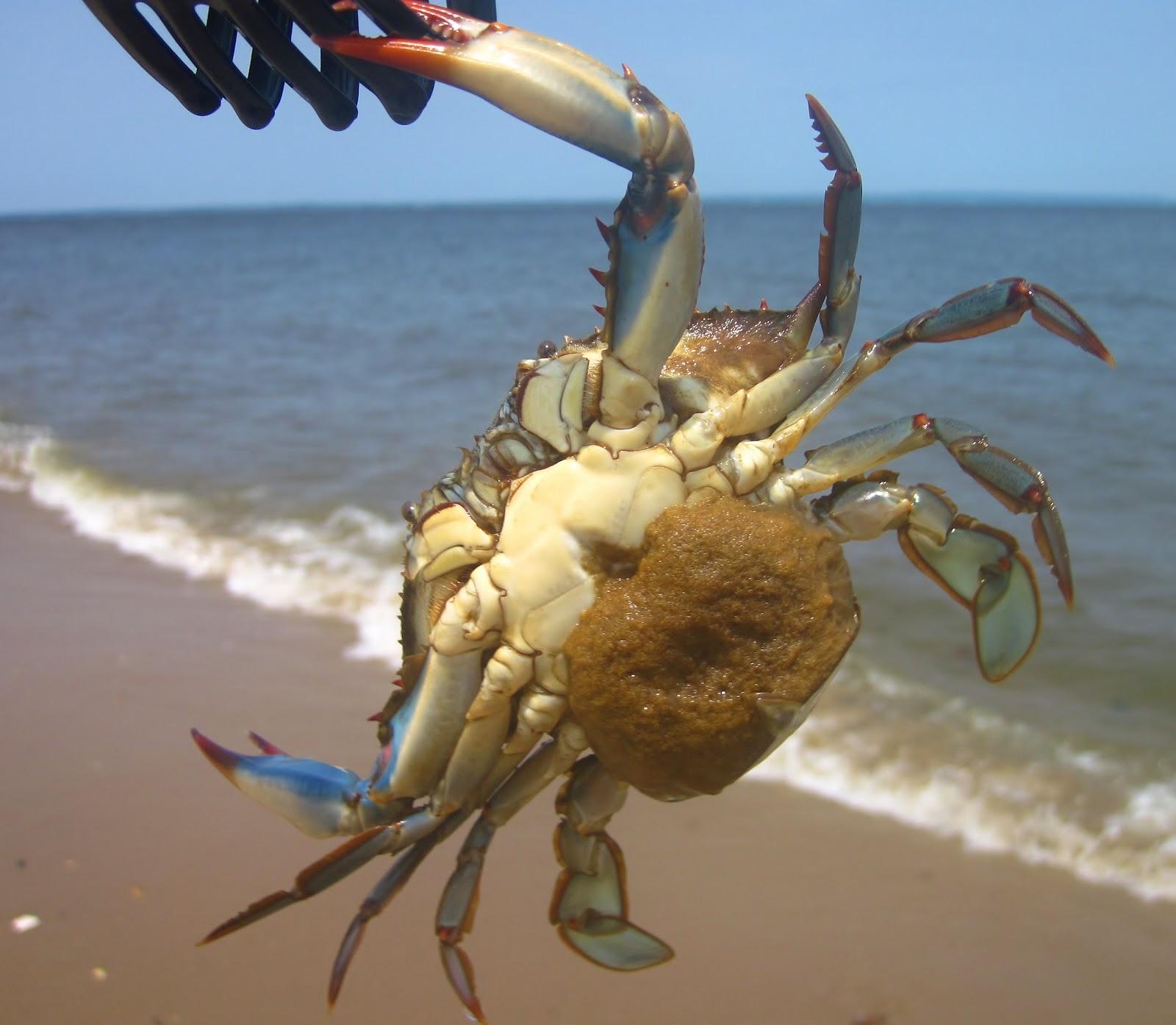Crab When Pregnant 37