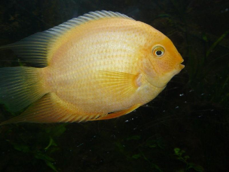 klasifikasi ikan severum
