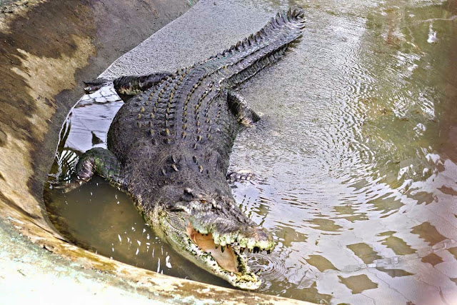 maior crocodilo do mundo
