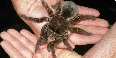 https://bio-orbis.blogspot.com.br/2014/05/aranha-golias.html
